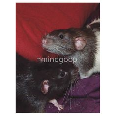 Dumbo rat brothers