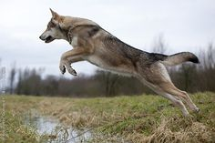 Not a thing; but definitely want one of these dogs someday. Tamaskan Wolfdog