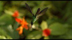 Hummingbird DisneyNature's new film Wings of Life
