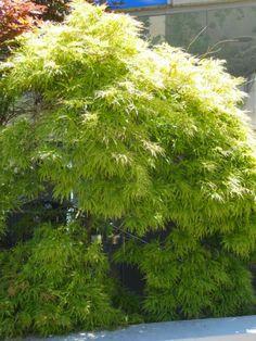 Acer palmatum 'Dissectum' v 1