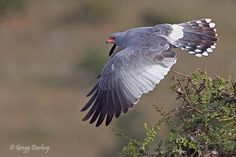 Southern Pale Chanting Goshawk - Photography by Gregg Darling