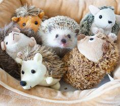 ハリは今日もいい笑顔です。 #hedgie #hedgehog #ハリネズミ #はりねずみ #hérisson #pet #玻璃