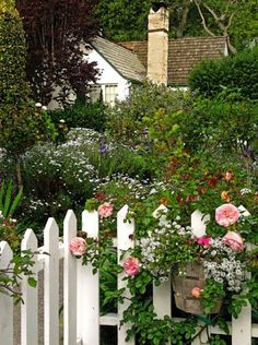 picket fence and rambling pink rose bush