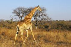 Afrique du Sud - Découverte du parc Kruger