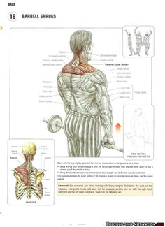 Training Anatomy - Back - Barbell Shrugs