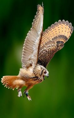 #Owls #Animals #Wildlife #Raptors #Birds