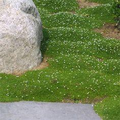 sternmoos - trittfest und immergrün!