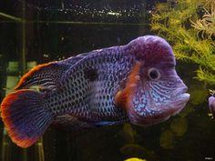 green terror Colorful Fish, Tropical Fish, Cichlid Fish, Cool Fish, Freshwater Aquarium Fish, Life Aquatic, Underwater Life, Planted Aquarium, Saltwater Fishing