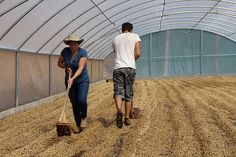 Family Business Raking the parchment coffee to ensure even drying.  Lourdes de Naranjo, West Vally, Costa Rica.