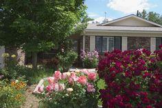 Beautiful roses in full bloom!