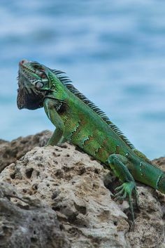 A Green Iguana Basking in the Sun  - Pigeon Point, Tobago
