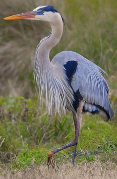 great blue heron | Great Blue Heron - Breeding Adult - Andrea Westmoreland
