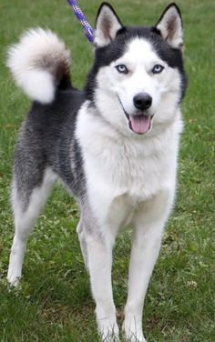 Hi, I'm Balto! I'm a 2 year old neutered male black with white Husky / Mix.