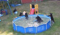 une famille d'ours dans la piscine [video] - http://www.2tout2rien.fr/une-famille-dours-dans-la-piscine-video/