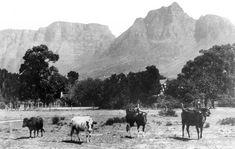 "Cattle grazing in ""The Pasturage"" (now Rondebosch Common) (circa 2016 Photographs Showing the Evolution of the Mother City Historical Pictures, Cape Town, New Pictures, Old Photos, South Africa, Trip Advisor, Cattle, City, History"