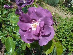 Purple rose. Un colore fantastico!