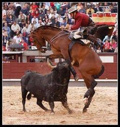 The bull is not the only animal to suffer in the ring - hundreds of horses die long and agonising deaths as they are gored by the pain-crazed bull. Horses have their ears stuffed with wet newspaper, they are blindfolded and their vocal chords are cut so they are unable to scream in pain.! STOP BULLFIGHTS!!!!