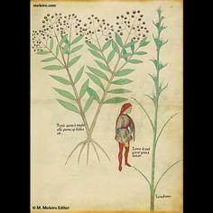Rare Books - Tractatus de Herbis (1440) THE BRITISH LIBRARY, LONDON