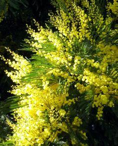 Google Image Result for http://www.mooseyscountrygarden.com/garden-journal-04/yellow-flower-wattle.jpg