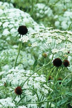 Grow Together: Ammi majus & Scabious 'Black Cat'