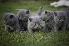 Litter of British Shorthair Kittens aged 6 weeks