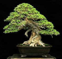 Nebari is a Japanese word, often used when describing the lowest part of the trunk and the flaring roots visible on the soil surface of your bonsai.This exposed rootage is one of the features that create the valuable look of age in a bonsai tree. Outdoor Bonsai Tree, Indoor Trees, Indoor Bonsai, Bonsai Plants, Bonsai Garden, Tree Garden, Garden Art, Bonsai Tree Types, Bonsai Tree Care