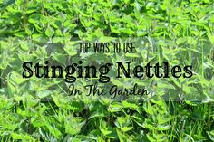 top ways to use stinging nettles in the garden