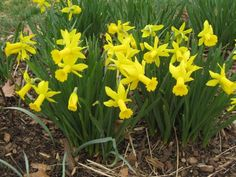13 Can't-Kill Flowers for Beginners | HGTV Outdoor Flowers, Outdoor Plants, Daffodils Planting, Organic Gardening Magazine, Daffodil Bulbs, Easy Care Plants, Garden Yard Ideas, Garden Tips, Garden Bulbs