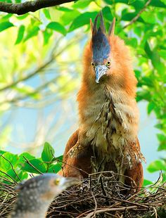 Malayan Night Heron. This bird occurs in subtropical and tropical swamps, streams, and marshes, especially in regions with high rainfall. It nests in forests in trees and bamboo, and forages in open areas. The most common food items are earthworms and frogs, and it will sometimes eat fish.