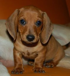 I chose this picture to go on my future board as I want to get a sausage dog in six years time. When I get one I want to get light brown one - like the one in this picture and name it Fred. Dachshund Puppies For Sale, Dachshund Dog, Cute Puppies, Dogs And Puppies, Wiener Dogs, Brown Dachshund, Chihuahua Dogs, Puppy Images, Cute Puppy Pictures