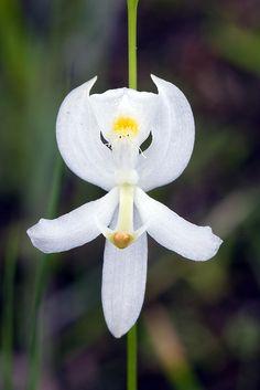 Calopogon pallidus albiflorus, Pale Grass pink (white form), Apalachicola National Forest, Liberty Co., FL