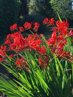 The Cynical Gardener Crocosmia, Kitchen Herbs, Garden Plants, Seeds, Water, Gripe Water, Culinary Herb