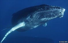 Earth News - Humpback whale song spreads to other whales Whale Tattoos, Animal Tattoos, Funny Animal Quotes, Funny Animals, Whale Video, Great Whale, Whale Song, Save The Whales, Wale