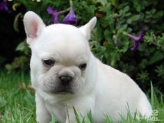 french bulldog puppies | Absolutly adorable French bulldog puppies for sale