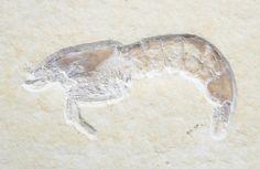 Fossil shrimp, Acantochirana cordata from Eichstatt, Germany