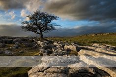 Trees on Limestone Pavement Lovely picture of the #yorkshire#dales