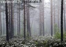 suopursut-kukkivat-metsassa