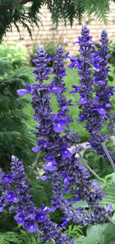 This tall and colorful plant will invite the birds, bees and butterflies to your yard, a great way to decorate your home with nature! Rockin' Playin' The Blues Salvia is easy to pair with other colors, try it with Supertunia Black Cherry, stunning! Purple Plants, Blue And Purple Flowers, Colorful Plants, Exotic Plants, Flowers Perennials, Planting Flowers, Flowers Garden, Front Yard Plants, Flower Garden Plans