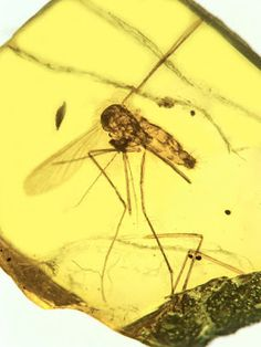 An ancient killer: Ancestral malarial organisms traced to age of dinosaurs #Geology #GeologyPage