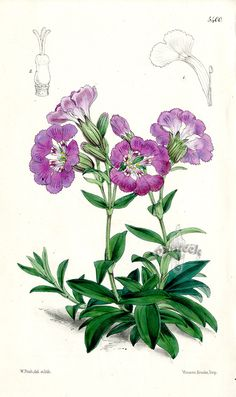 Silene Elizabeth from Plants from Royal Garden of Kew by W.H.Fitch 1853-1871