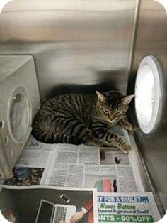 Philadelphia, PA - Domestic Shorthair. Meet carl, a cat for adoption. http://www.adoptapet.com/pet/18470327-philadelphia-pennsylvania-cat