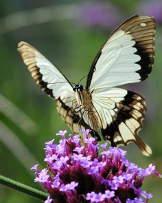 Swallowtail: Mocker (Papilio Dardanus)