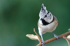 Mésange huppée : 14 photos d'oiseaux de France par David Meïer