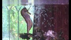 Seahorse gives birth, Seahorse having babies, giving birth,Sid, via YouTube.
