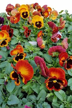 The popping hues of winter pansies are a must-have flower for fall, winter, and spring blooming. Click and read to learn all you need to know about pansies. Winter Pansies, Garden News, Early Spring, Spring Summer, Spring Garden, Season Colors, Colorful Flowers, Landscape Design, Planting Flowers