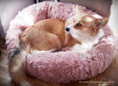 Pembroke Welsh Corgi, Corgis, Animals, Puppys, Pet Dogs, Animales, Animaux, Corgi, Animal