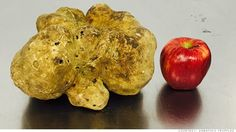 This world's largest white truffle weighing 4.16 lbs  will possibly sell for upwards of $1 million dollars, making it the most expensive truffle ever.