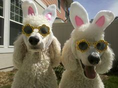 i'm a big animal person, these pics showcase my standard poodles cooper and miles, and the many other pets of my family, enjoy ;)