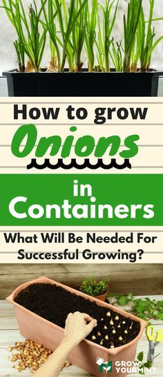 How to grow onions in containers #onion#container#growyourmint