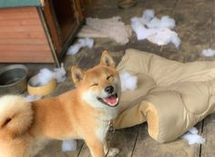 Look hooman. I've destroyed the evil cushion. It can't hurt us no more. Cute Puppies, Cute Dogs, Cute Funny Animals, Dogs Of The World, Shiba Inu, Akita, Mans Best Friend, Animals And Pets, Puppy Love